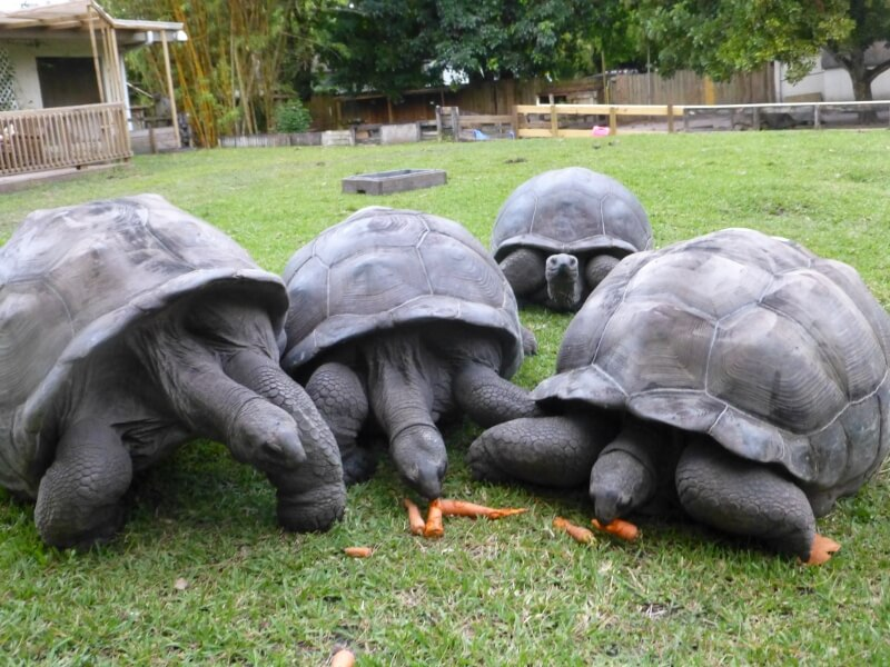 /Tortoises/Aldabra-Perfect-Hatchlings