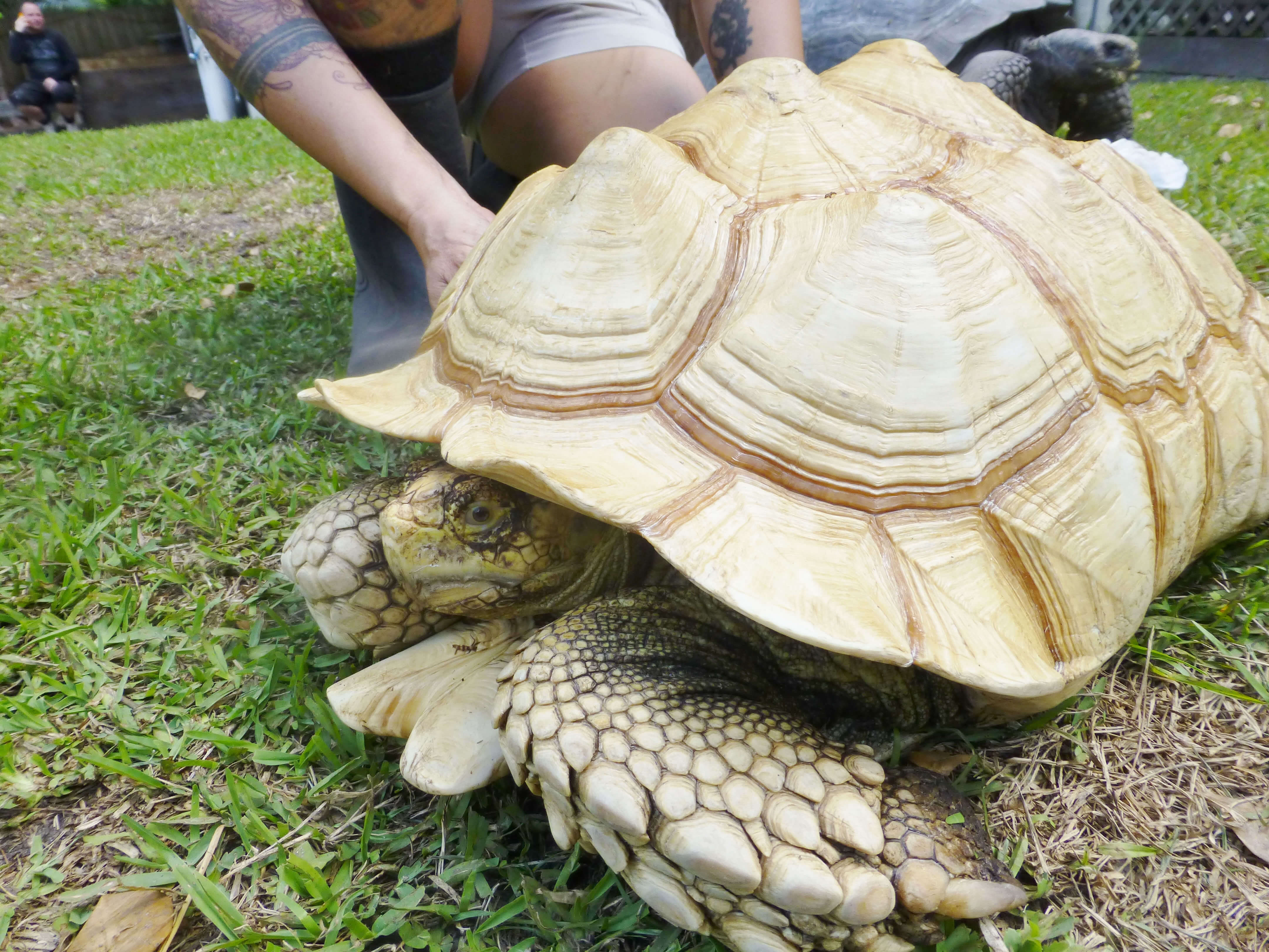 /Tortoises/Ivory-Albino-Ruby-Red-Eyed-African-Spur