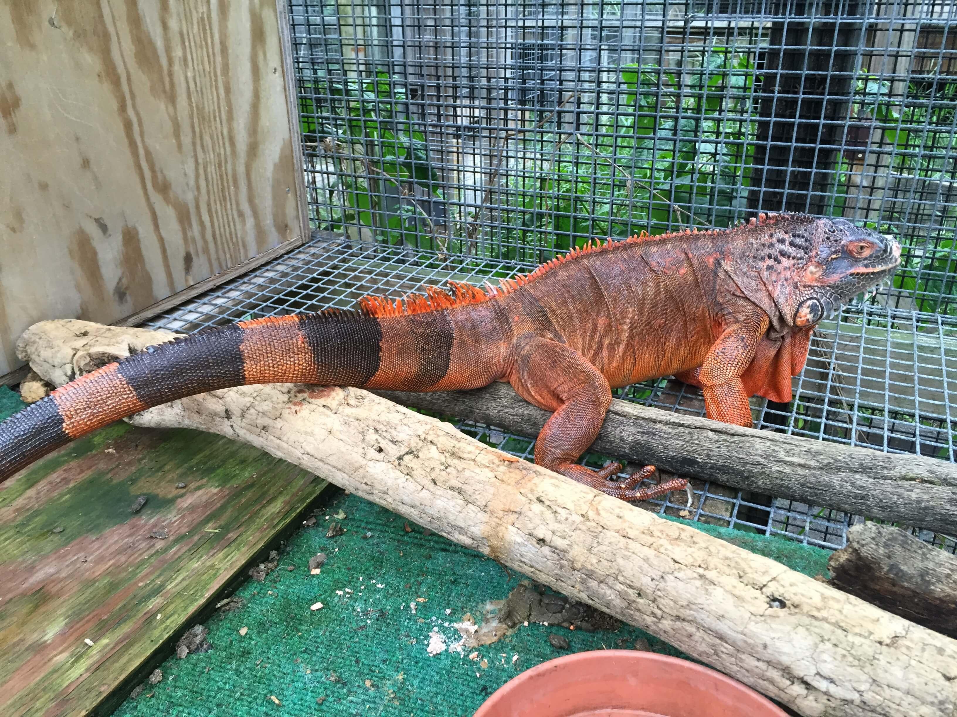 /Iguanas/Green-Color-Morphs/Super-Red