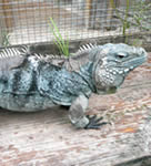 Cyclura Iguanas For Sale