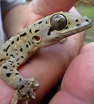 Gecko/Lizards For Sale