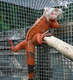 Iguanas Menu