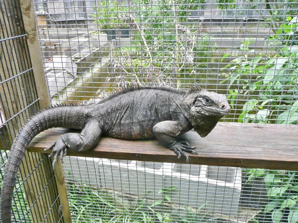 /Iguanas/Cyclura/Cuban