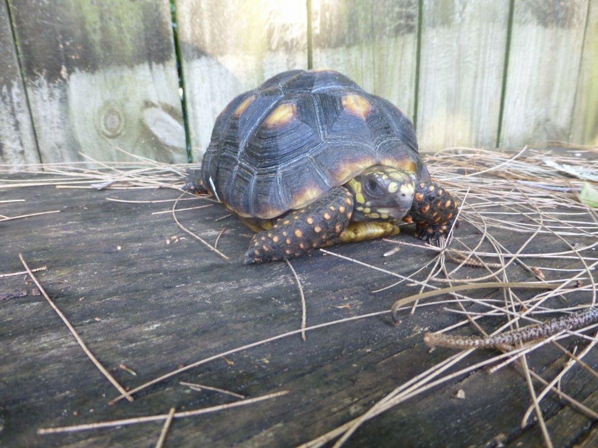 10191/screen/6-Red-Foot-Tortoise-Face.jpg