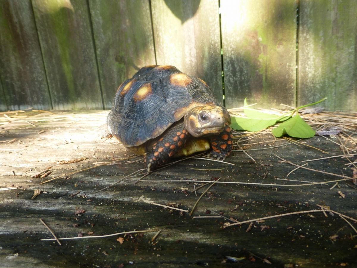 10192/screen/7-Red-Foot-Tortoise-Face-A.jpg