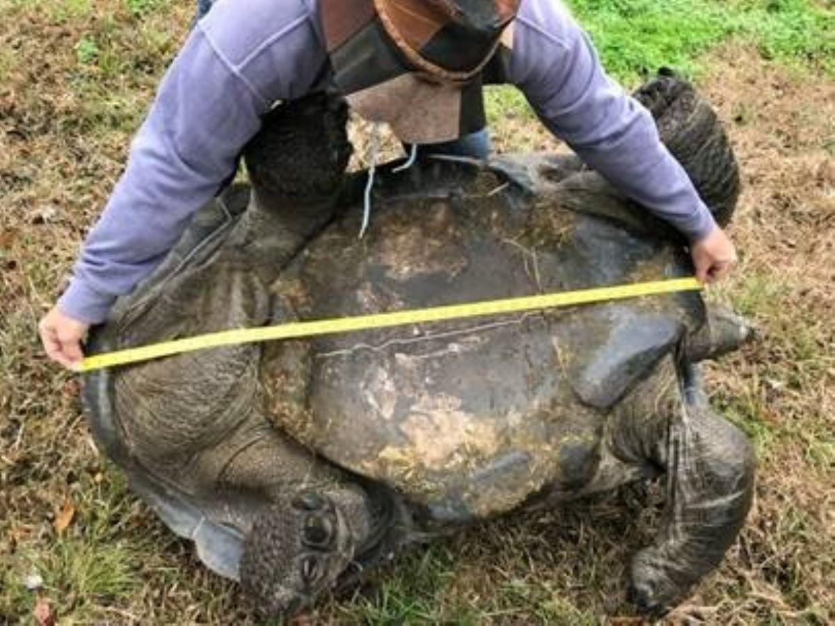 aldabra-male-43inches.jpg