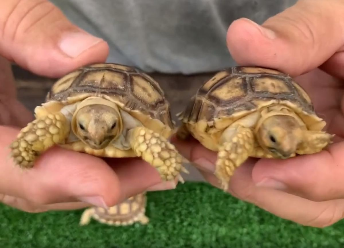 11022/screen/Ivory-Sulcata-Tortoise-Hatchlings.jpg