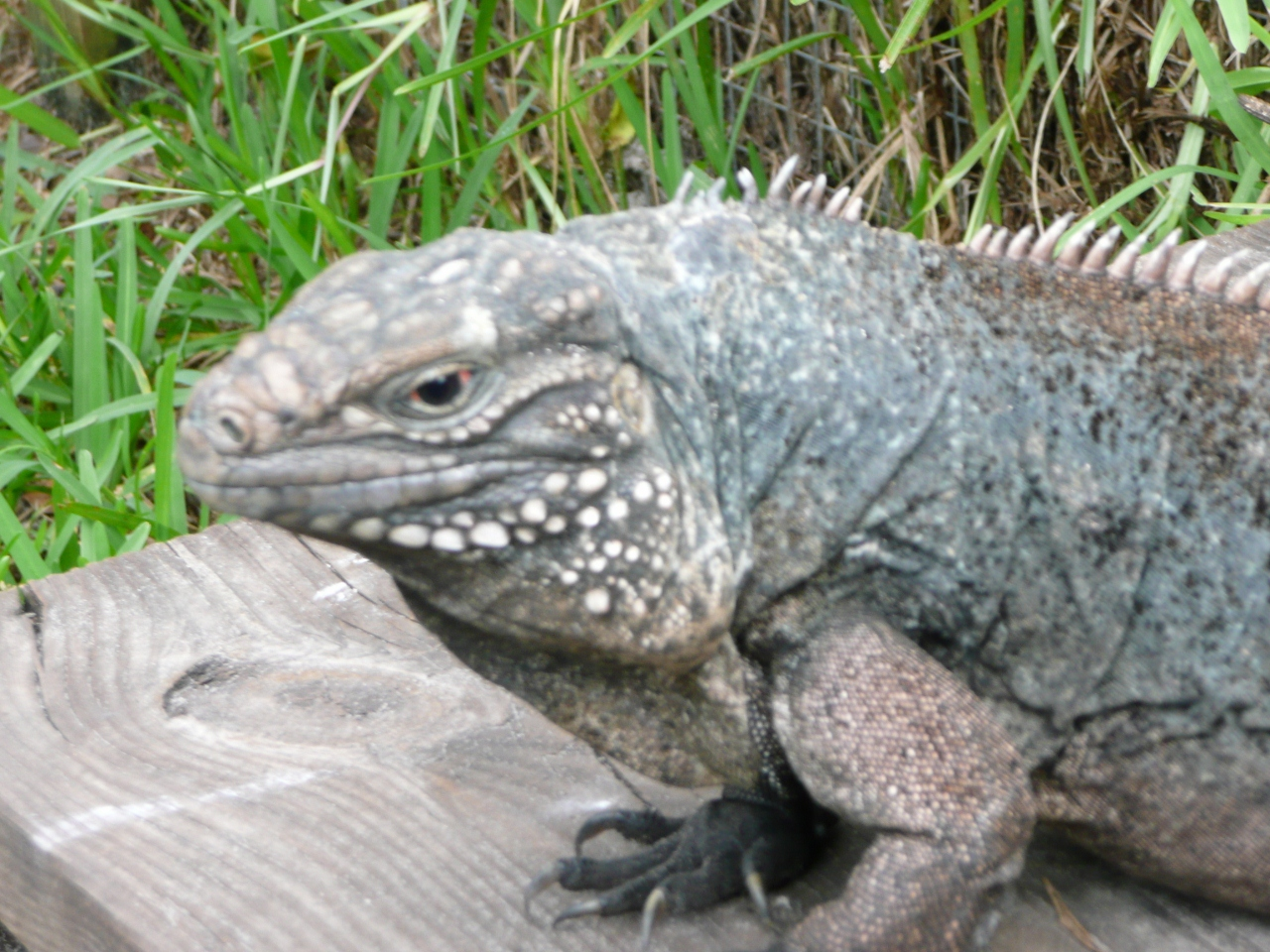 /Iguanas/Cyclura/Blue-Cuban