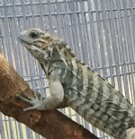 Blue-Rhino-Hatching-Iguana-2-Zoomed.jpg