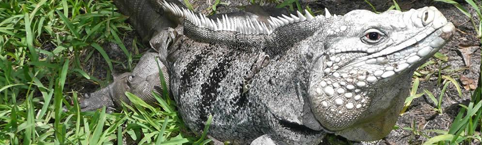 Cayman-Iguanas.jpg
