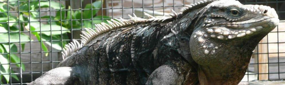 Cuban-Iguanas.jpg