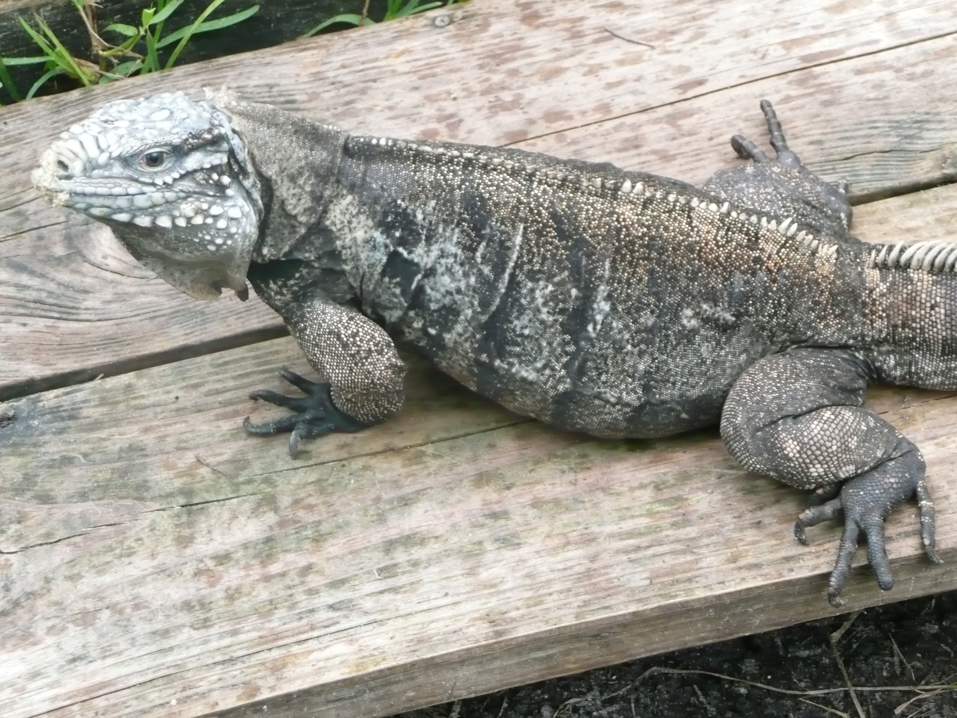 Humphery-Female-Cuban-Iguana.JPG