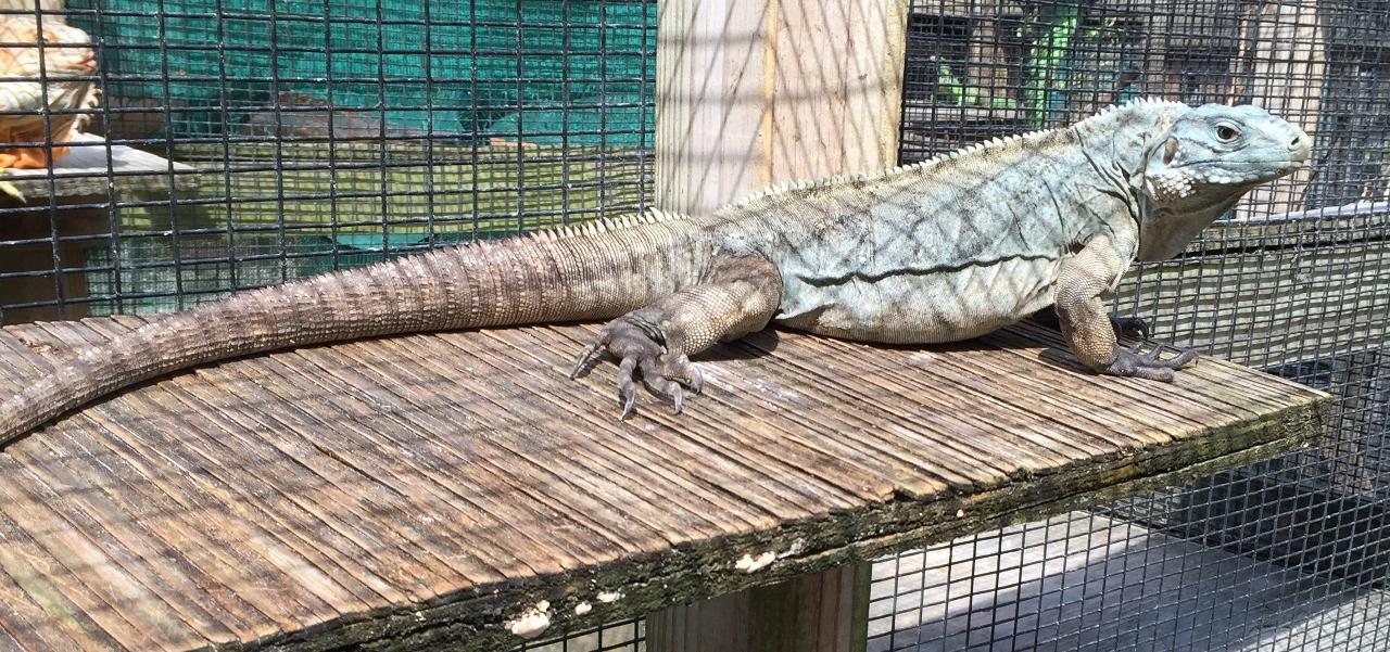 /Iguanas/Cyclura/Lewisi-Hybrids