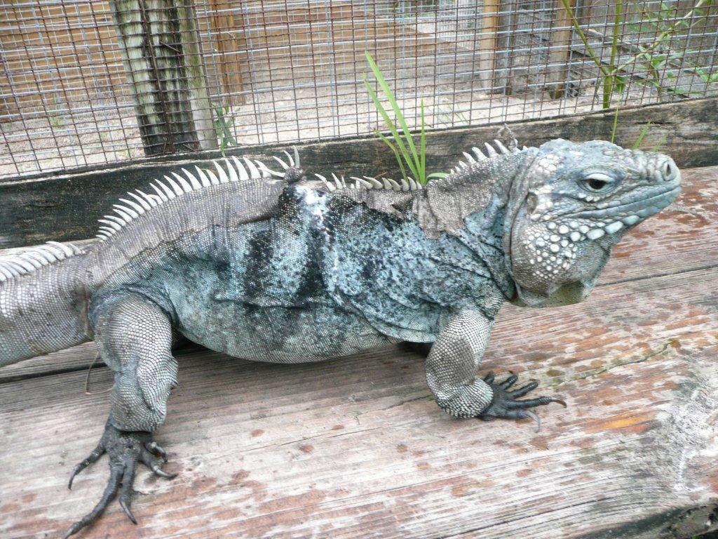 /Iguanas/Cyclura/Lewisi