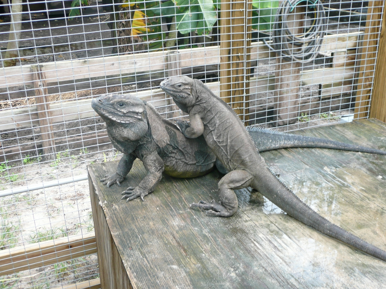 Rhino-Iguanas-Mating-Pair-Florida.jpg