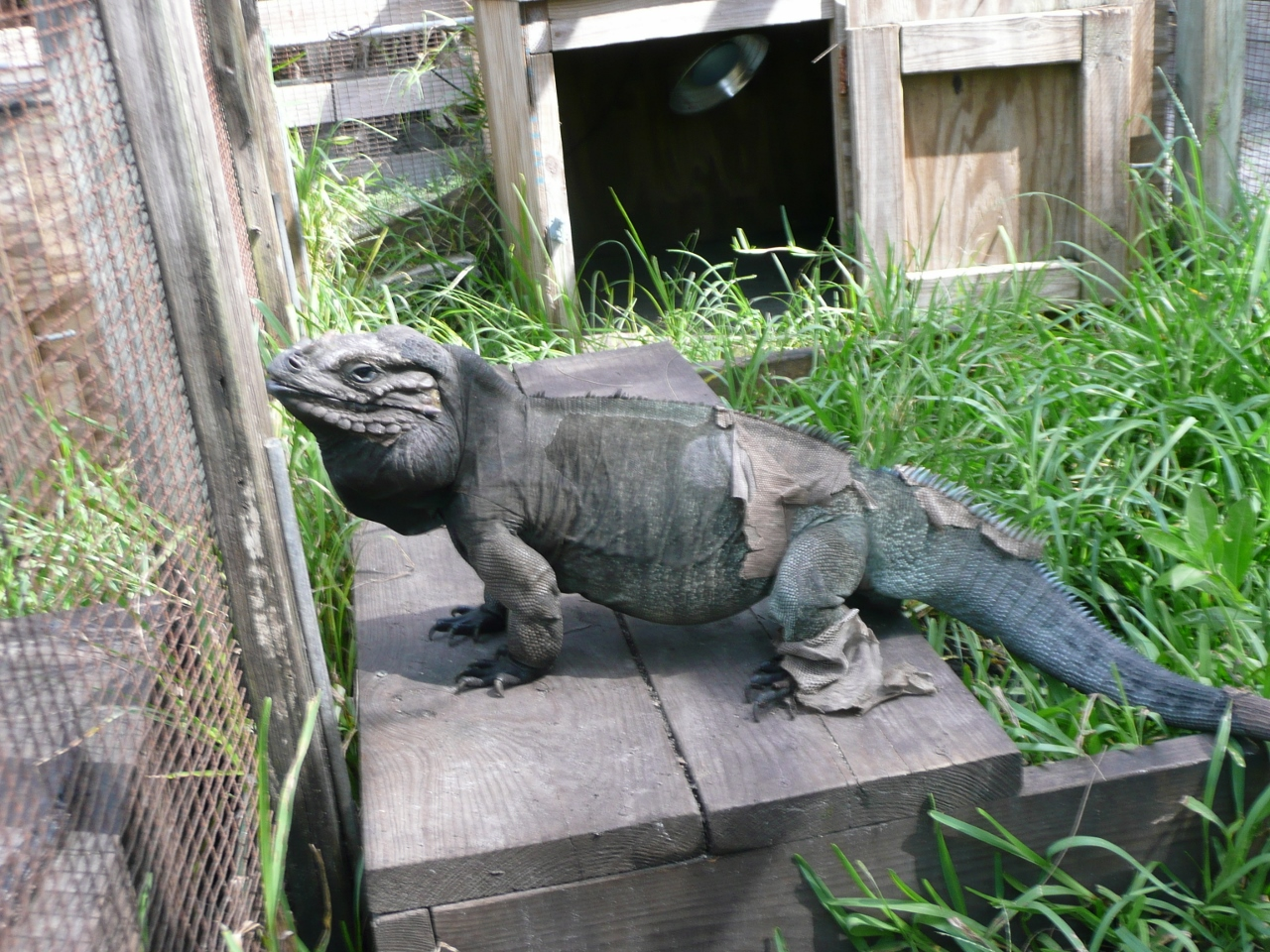 Rhino-Large-Adult-Male-Cyclura-Iguana.jpg