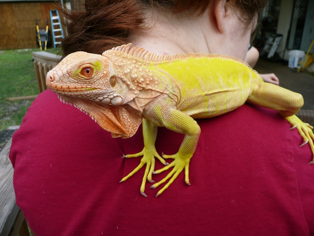 /Iguanas/Green-Color-Morphs/Albino-T-Neg