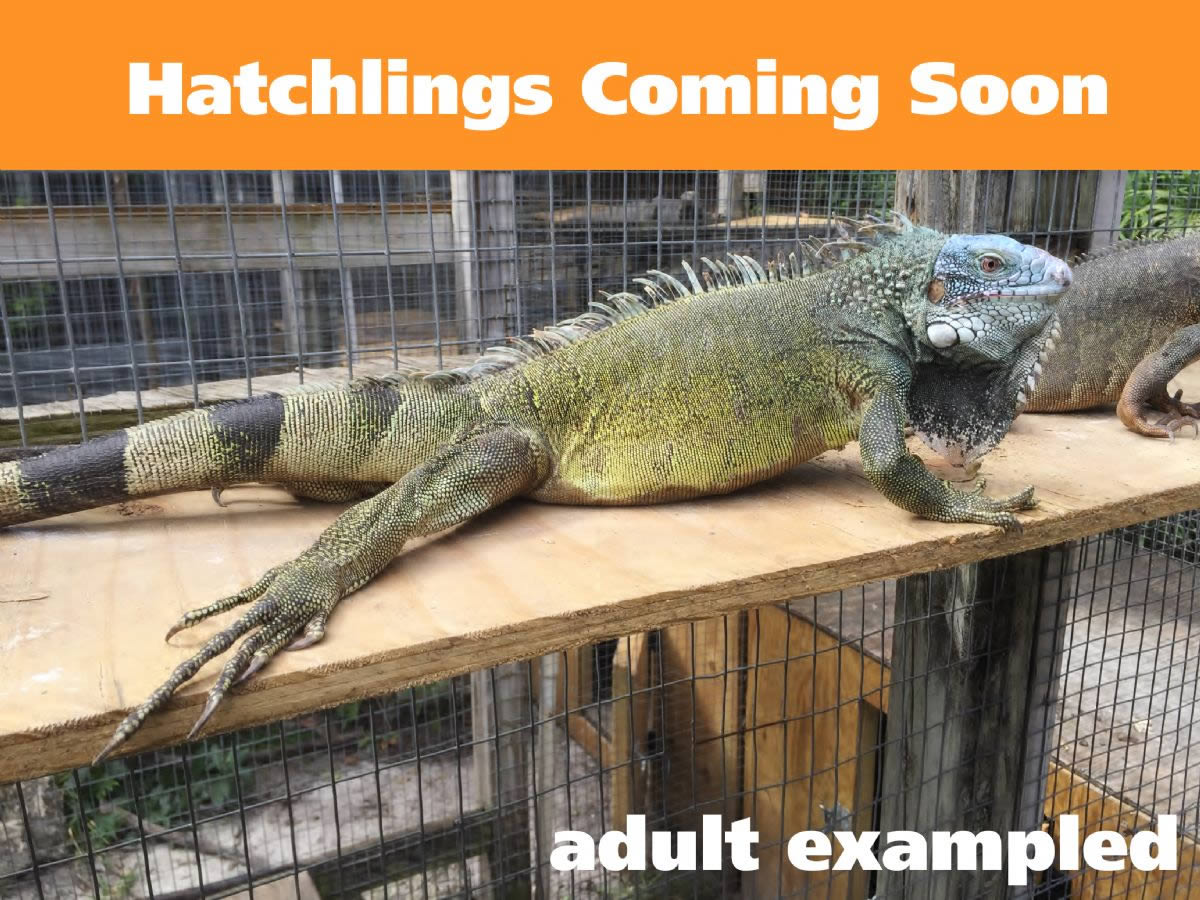 Blue-Head-Iguana-Male-Hatchling-Example.jpg