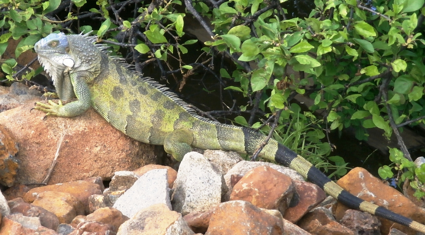 /Iguanas/Green-Color-Morphs/Blue-Head
