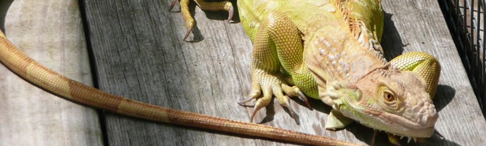 Hypomelanistic-Iguana.jpg