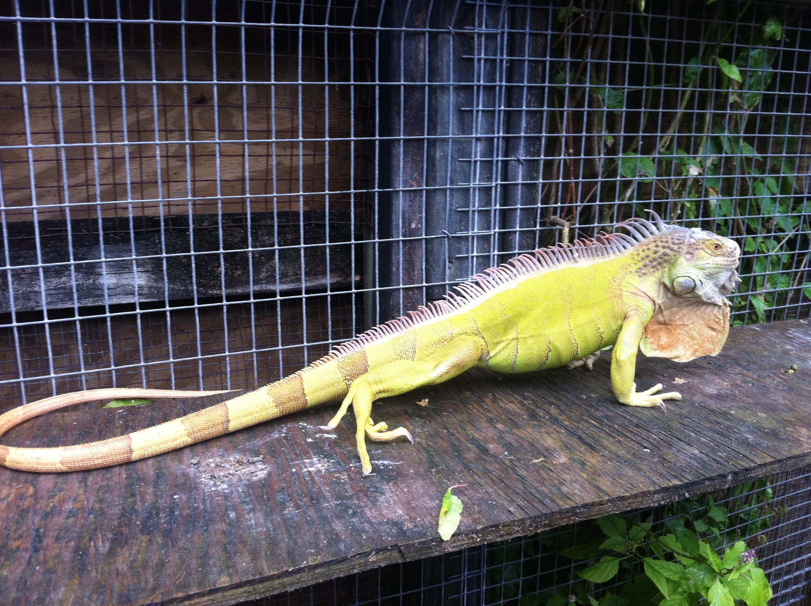 Hypomelanistic-Iguanas.JPG