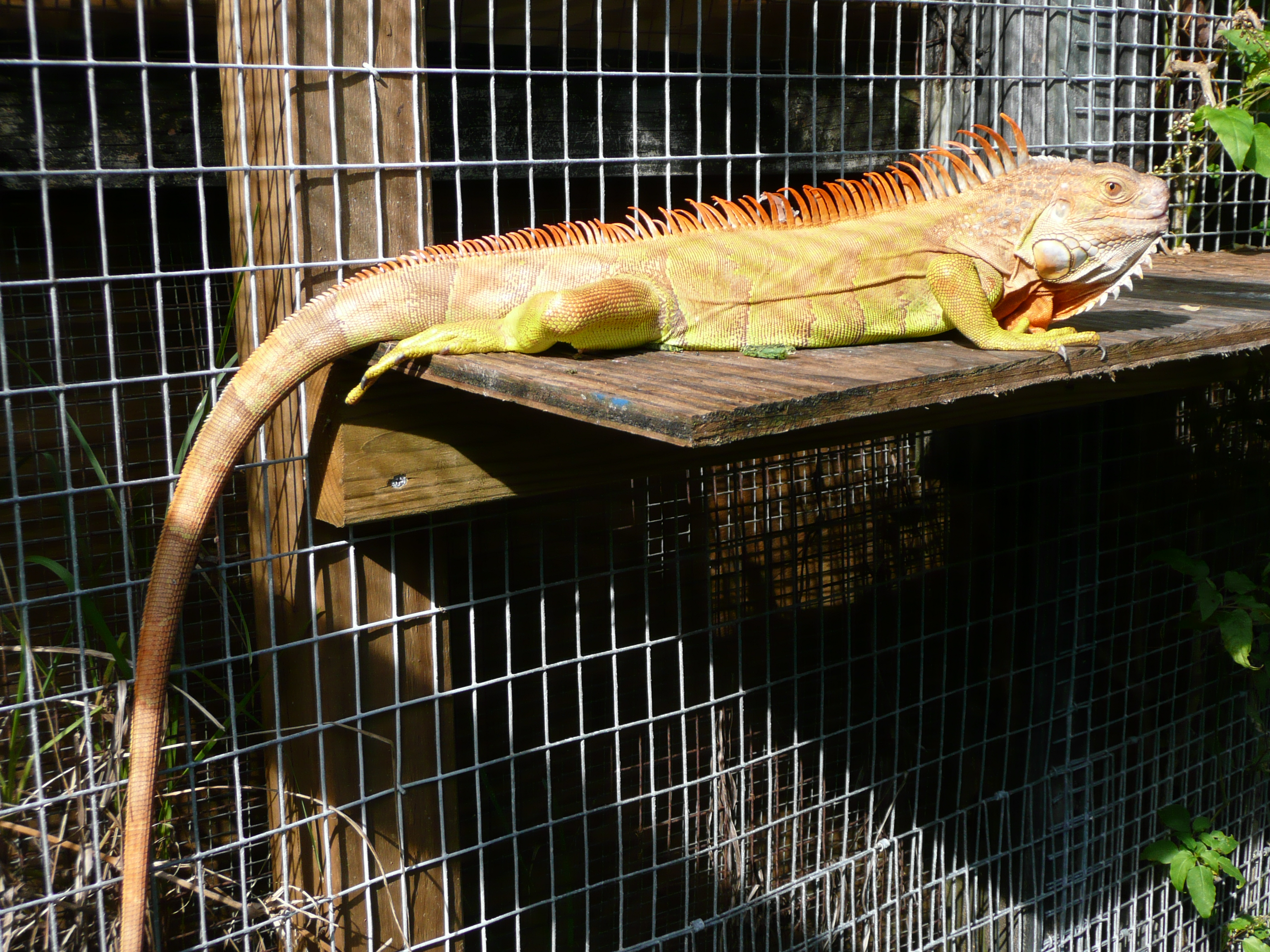 hypomelanistic-Male-yellow-iguana-2.JPG