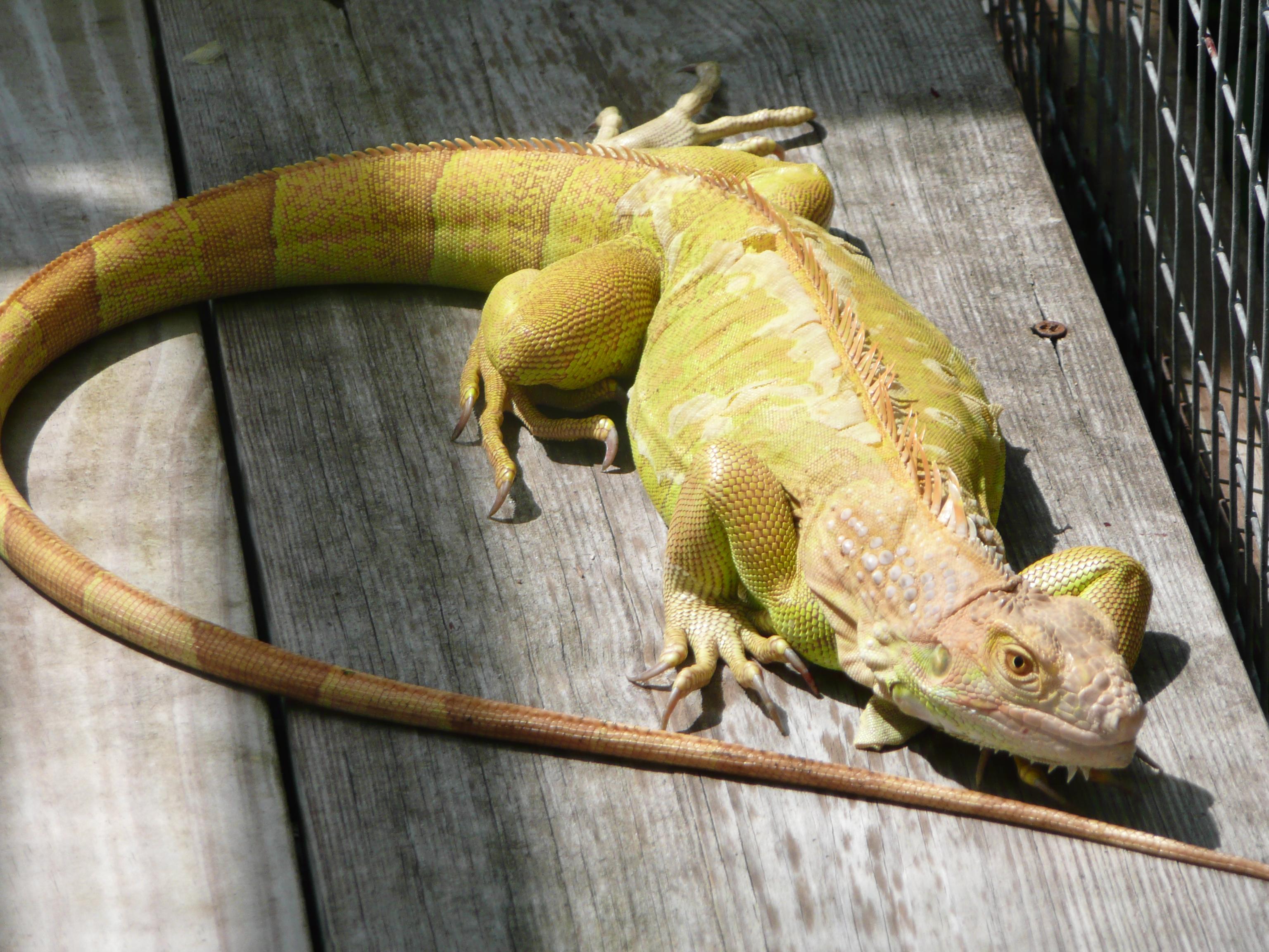 hypomelanistic-female-Iguana.JPG
