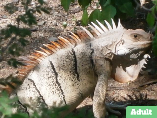 /Iguanas/Green-Color-Morphs/Tobago-Cay