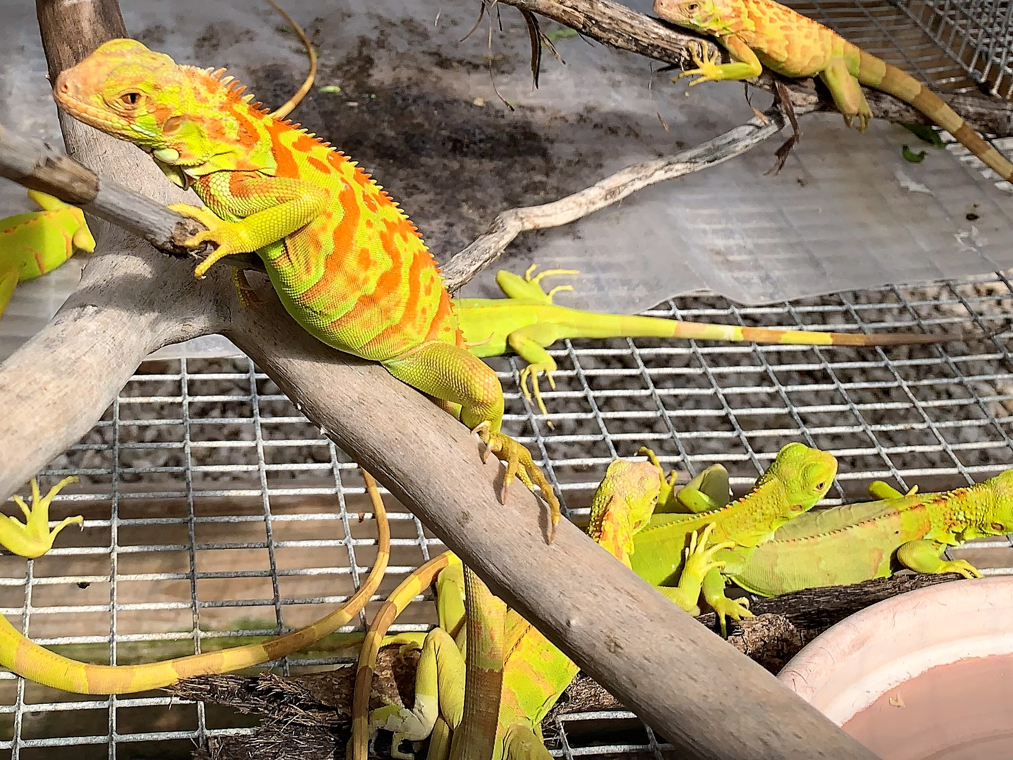 2018 Hypomalanistic Iguana Hatchlings 8 Month Old group.jpg