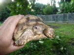 7-inch-spur-tortoise-female-A.jpg