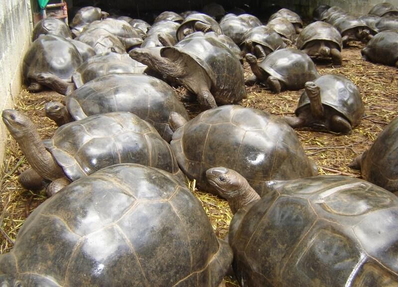 Seychelles-adult-breeders.jpg