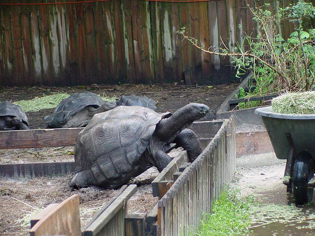 Aldabra-Tortoise.JPG