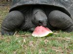 Aldabra Tortoise eating water mellon.jpg