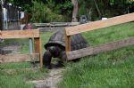 Large-Aldabra-Tortoise-looking-through-fence.jpg