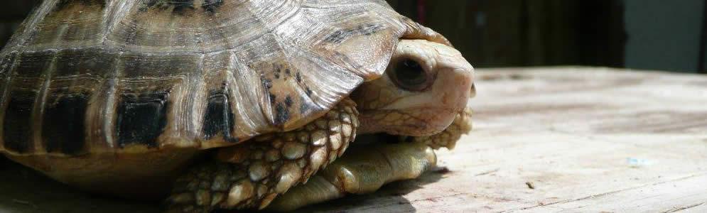 Elongated-Tortoise.jpg