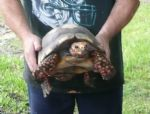 Bolivan-Red-Foot-Male-Tortoise.JPG