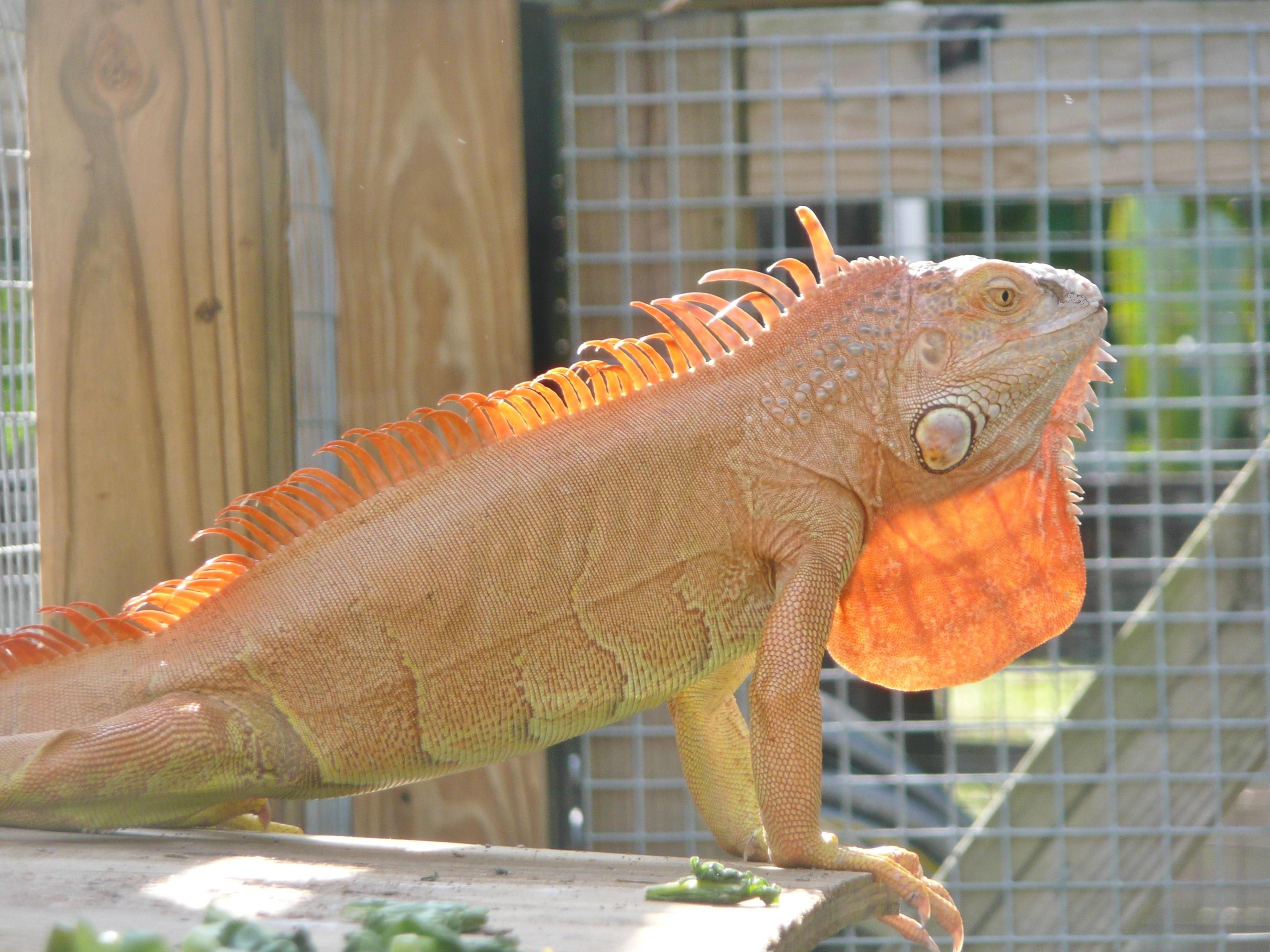 Iguanas Green Color Morphs Hypomelanistic Red Cross