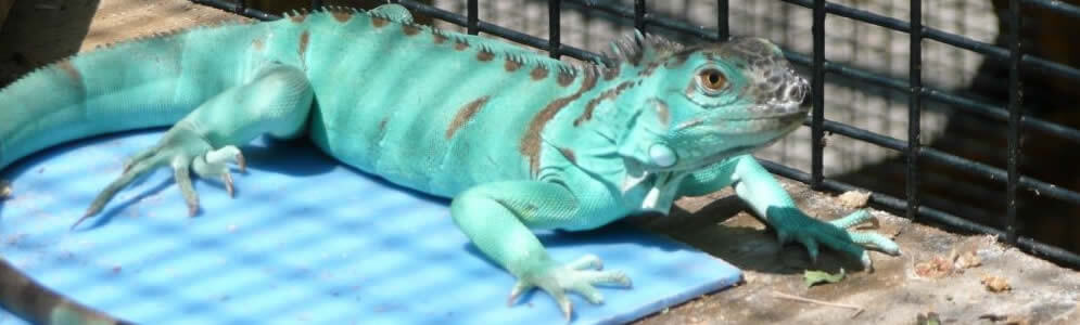 Iguana For Sale Picture And Images