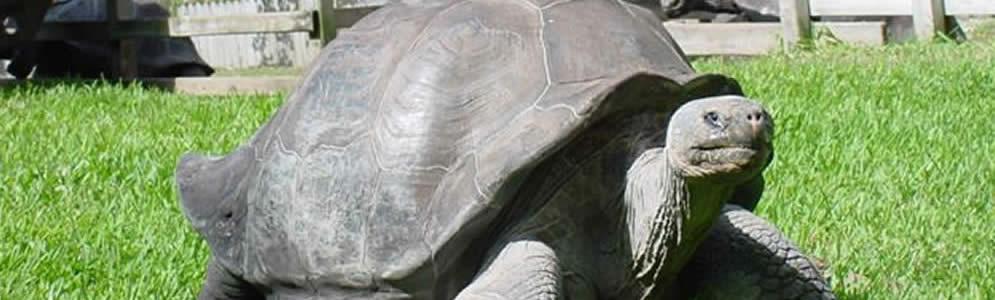 Gal�pagos Tortoise