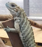 Rhino Iguanas For Sale