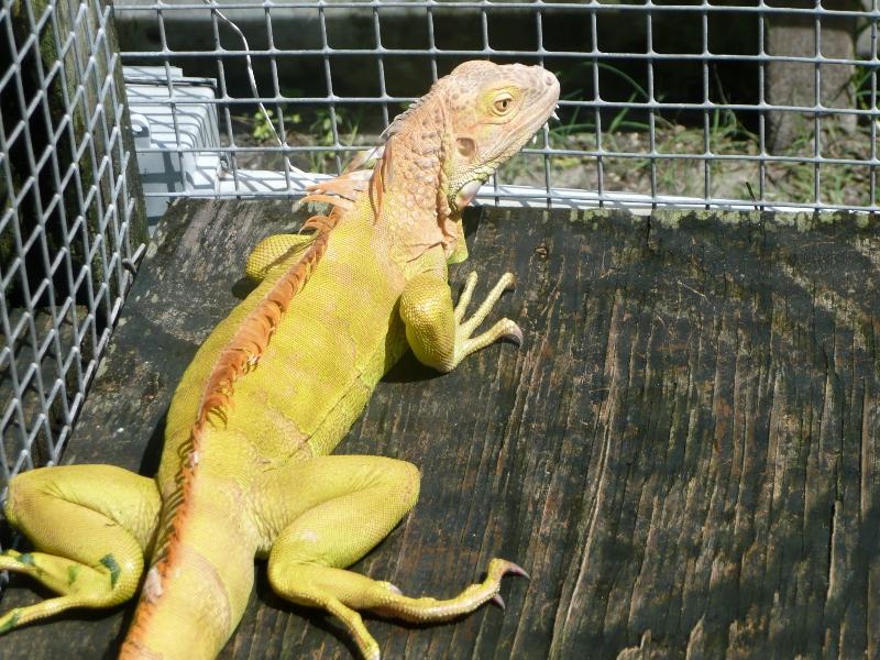 Adult Male Iguanas Green Color Morphs Hypomelanistic 1510100