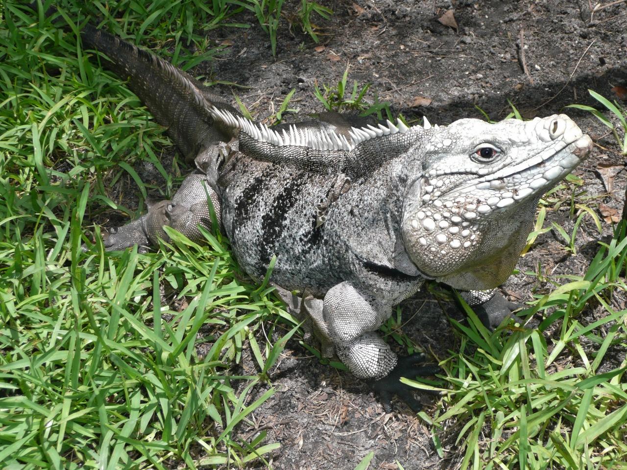 Cayman Brac Iguana Or Cyclura Nubila Caymanensis