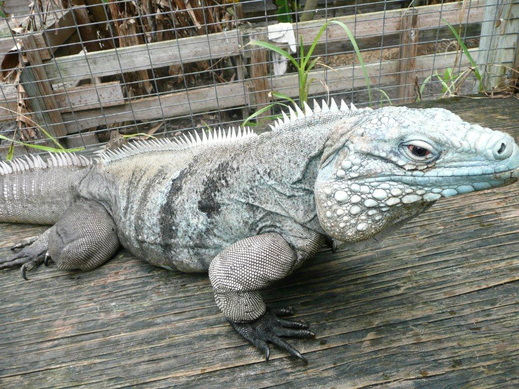 Blue Iguana For Sale : Iguana cages best small large iguana cages for sale reviewed