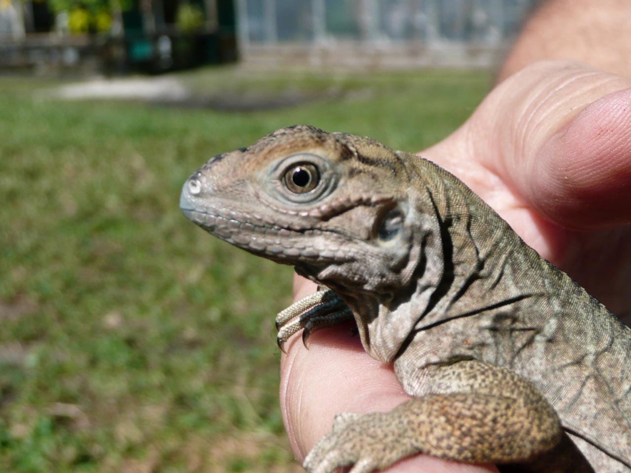 Rhino - Florida Iguana & Tortoise Breeders