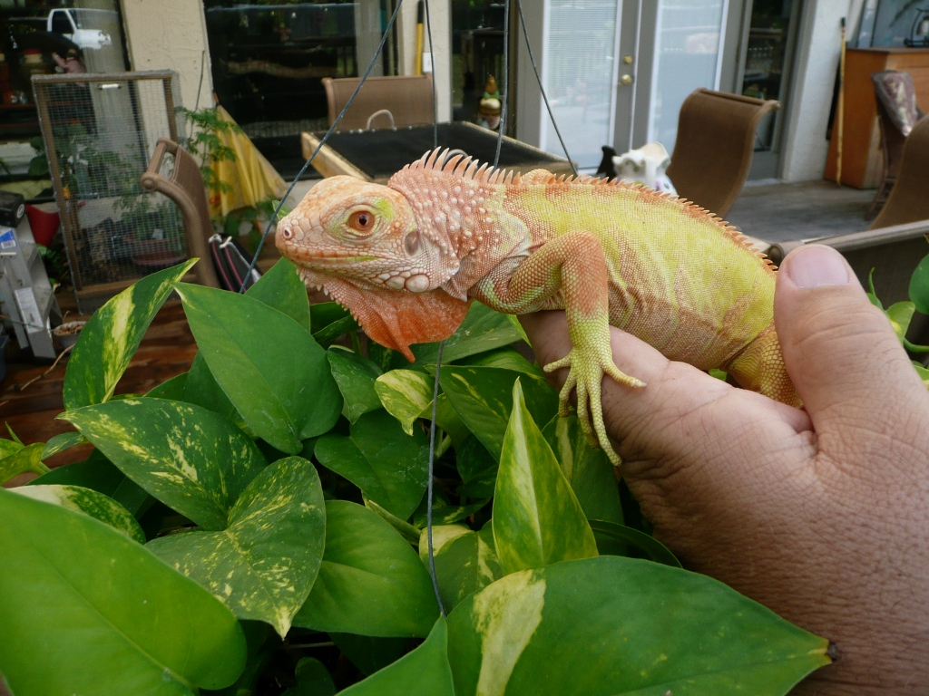 Albino T Neg Florida Iguana Tortoise Breeders