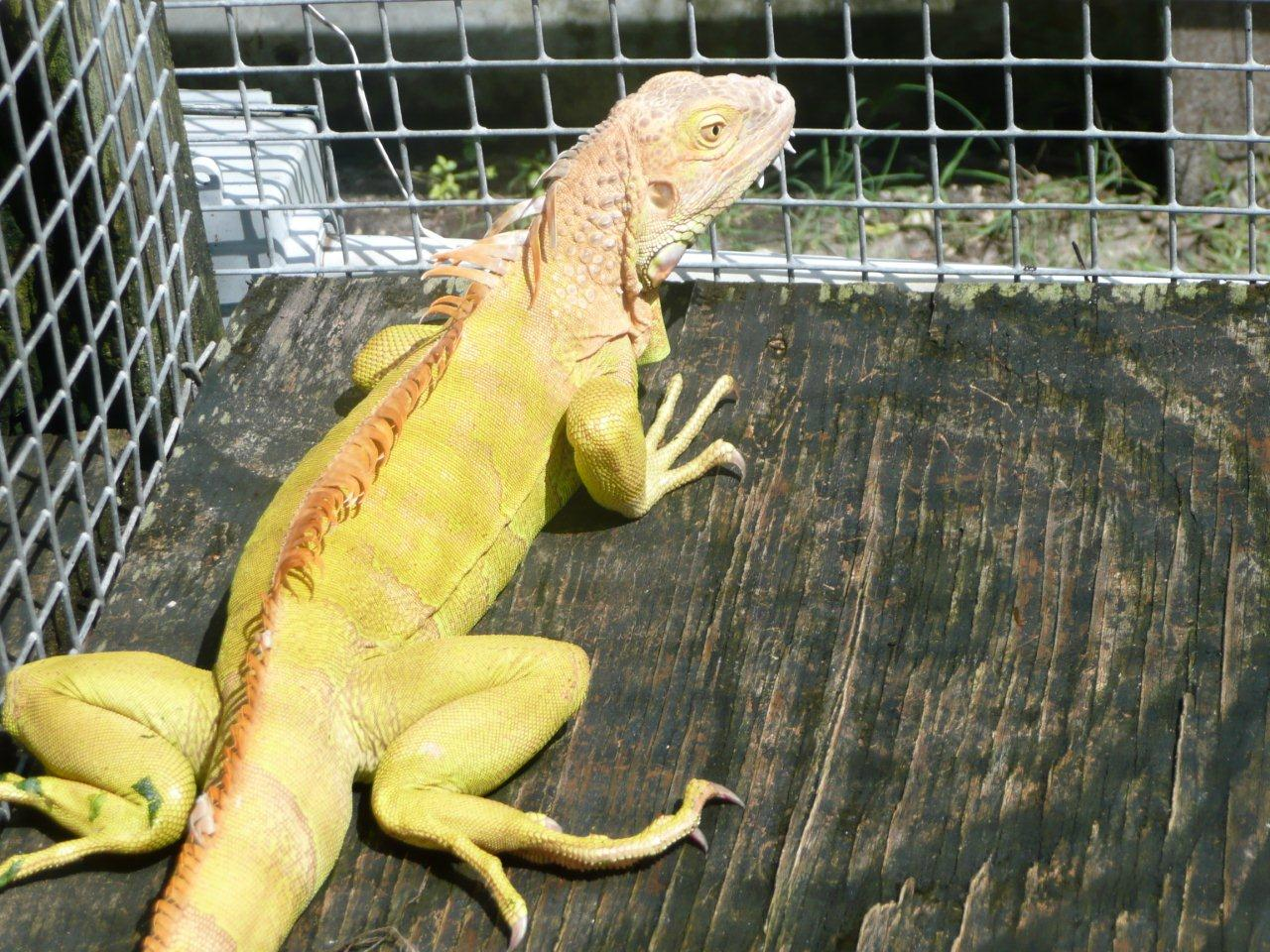 Albino Green Iguana For Sale Albino Green Iguana