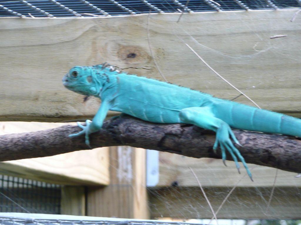 Blue Albino Iguana Axanthic Blue Iguana