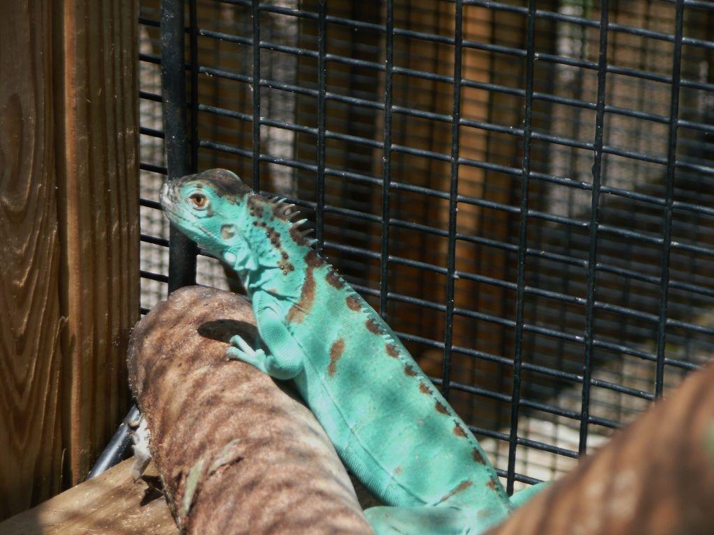 Blue Iguana For Sale : London for sale gorgeous blue iguana perfect health