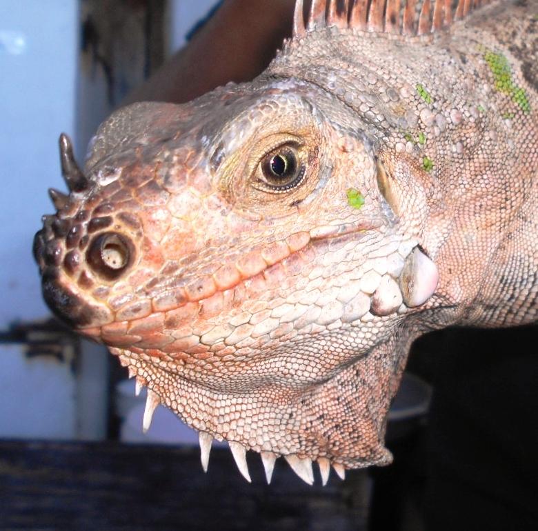 horned rainbow florida iguana tortoise breeders
