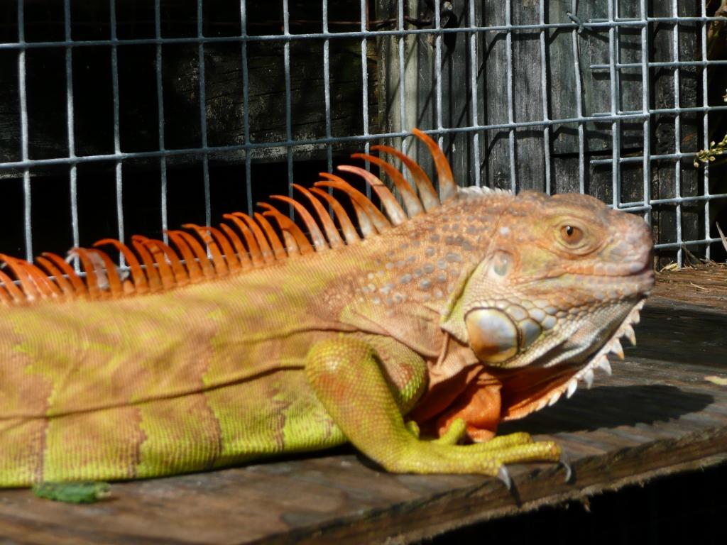 Iguanas Green Color Morphs Hypomelanistic